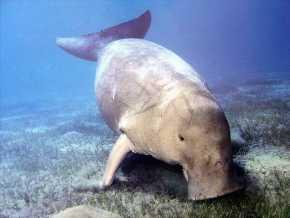 Tahukah Anda, Ikan Duyung di Semenanjung Malaka Hampir Punah Karena Limbah Minyak