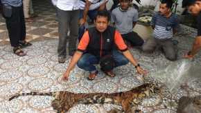 Pelaku Perdagangan Organ Harimau Sumatera Dibekuk Polda Riau