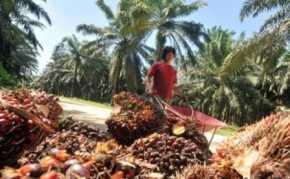 Harga Minyak Mentah Picu Naiknya Harga TBS Riau