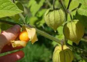 Manfaat besar makan buah ciplukan