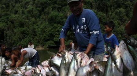Tangkapan Besar dan Mantap, Inilah Tradisi Mancokau Ikan Lubuk Larangan Di Tanjung Belit Kampar Riau