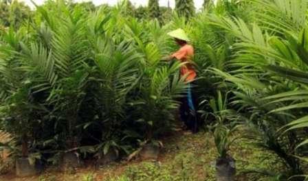2018, PT PIL Direncanakan Produksi 6,5 Juta Bibit Sawit Unggul