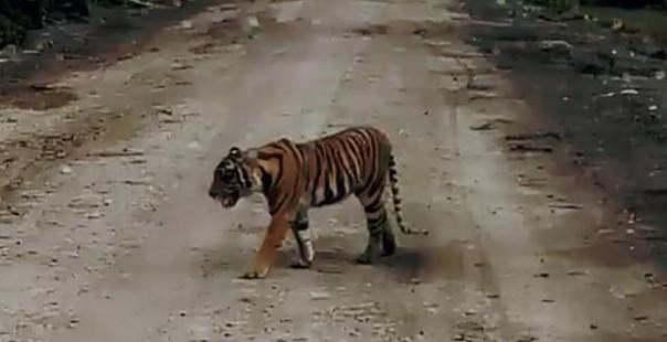 Keberadaan Harimau Bonita dan Atan Bintang tak Terpantau Lagi