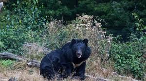 Warga Kampar  Babak Belur Diserang Beruang Liar